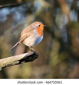 Robin, also known as Robin Redbreast, perched on a dead branch