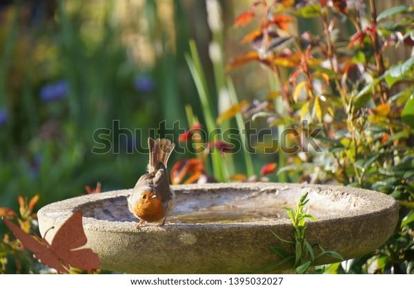 Robin on bird bath in British garden on spring day, posing, UK