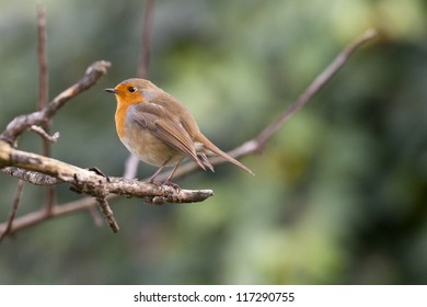 Robin on a branch