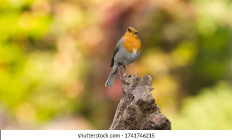 Robin on a branch against a full color background