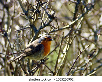 robin on a branch of a hawthorn