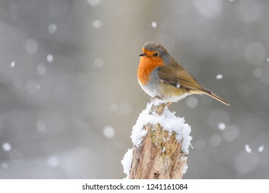 Robin on a branch in the snow.