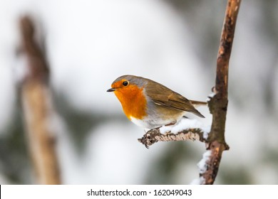 Robin on a branch in winter forest