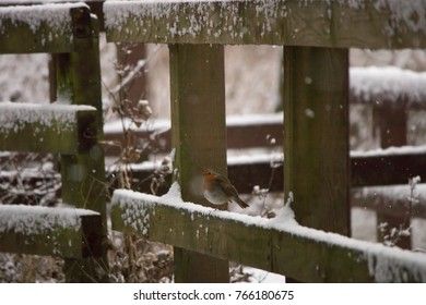 robin on a fence in snow