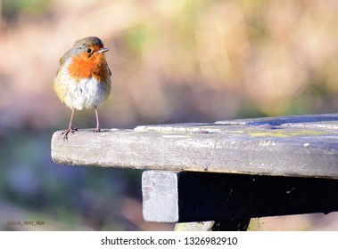 Robin on Park Bench