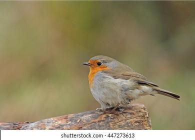 Robin on tree trunk, Erithacus rubecula