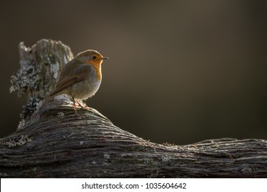 Robin partly back lit perched on a log with a brown background.