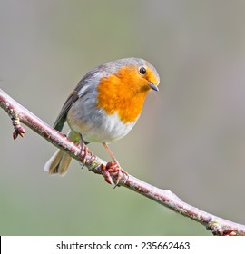 Robin perched on a branch.