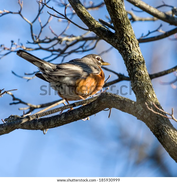 Robin Perched on Branch