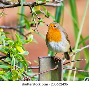 Robin perched on a fence post.