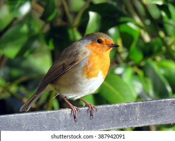 Robin perched on a railing at Sewerby Park, Bridlington, East Yorkshire UK