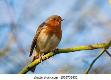 Robin perched on a twig