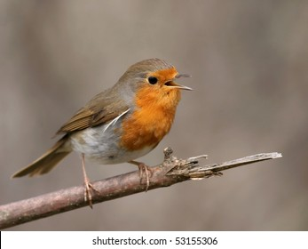 Robin perched on a twig, singing, at short distance