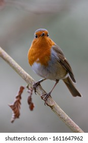 Robin perched on a winter branch at the Welsh Wildlife Centre in Wales.