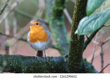 A robin perches on a branch
