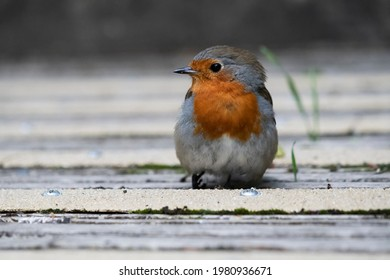 Robin photographed at low angle on decking