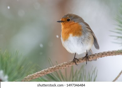Robin in pine tree during snowfall