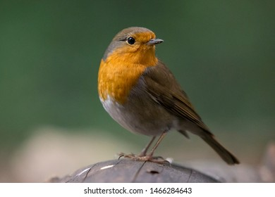 Robin portrait in the forest.