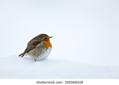 Robin readbreast perched in snow with a white snow background.