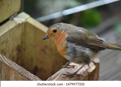 Robin red breast bird. Close up with a blurred background. Taken in England