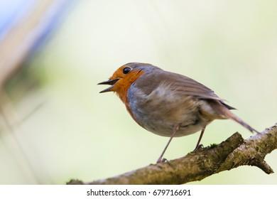 Robin Red Breast, Britain's favourite garden bird, the European robin, Erithacus rubecula