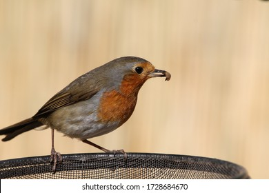 Robin red breast with mealworm