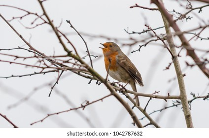 A robin red breast singing on a tree branch