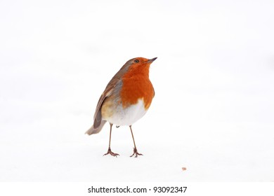 Robin red breast standing in snow with one seed