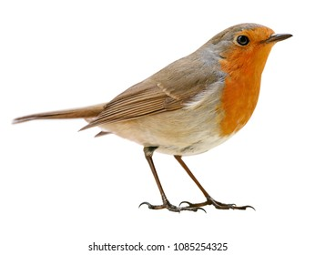 Robin or redbreast (Erithacus rubecula) isolated, on white background