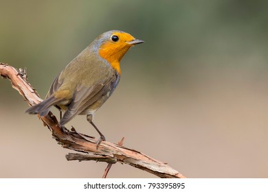 Robin redbreast, Erithacus rubecula, perched on a tree trunk. Spain