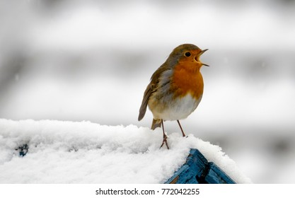 Robin Redbreast (Erithacus rubecula) Singing in The Snow