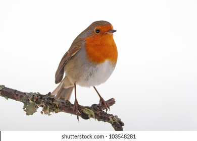 Robin redbreast perched on a lichen covered twig