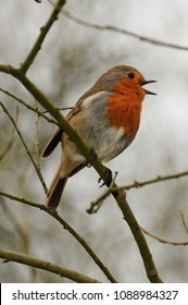 robin redbreast singing in treetop