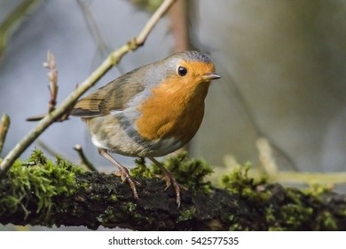 A robin redbreast is sitting on a branch