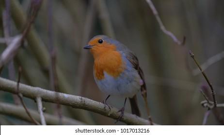 robin redbreast woodland bird england