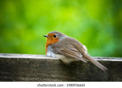 Robin resting on fence in English countryside