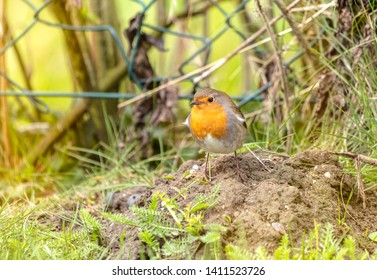 The robin seeks protection from the storm or from food
