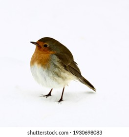 Robin seems lonely in the Dutch snow.