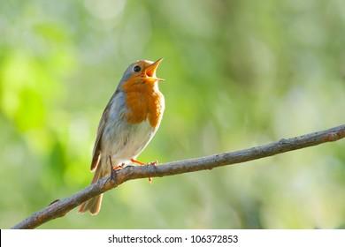 robin singing in spring, songbird, Erithacus rubecula, European Robin