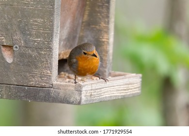 Robin sits in front of a picket fence on the ground looking for food