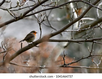Robin sits upon a branch in Winter in the village of Coulston Wiltshire UK
