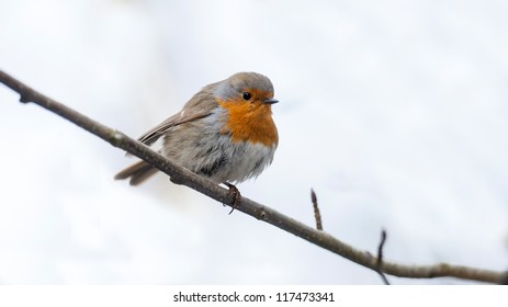 Robin is sitting on a branch