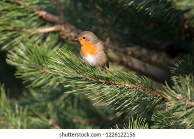 Robin is sitting on pine branch, the Netherlands