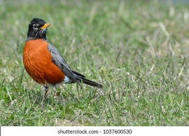 Robin standing on left side of image which leave room to add text to the right.