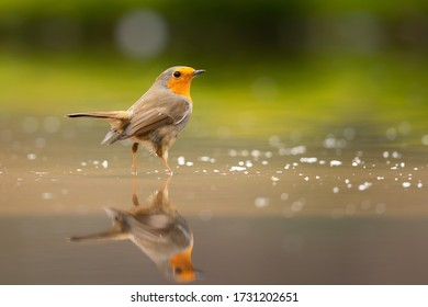 robin standing in the water of a pond with a relection in the water in the forest in the Netherlands