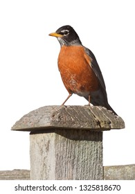 A robin stands on a wooden fence post, white background.