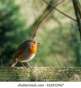 A robin stood side-on along the canal at Bardsley Brew in Tameside, UK.