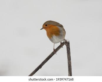 the robin - a wonderful singer