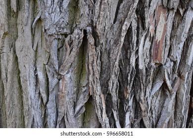 Robinia bark