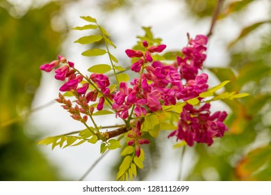 Robinia hispida, known as the bristly locust, rose-acacia, or moss locust, pink flowers on a tree branch. Medical herb series.